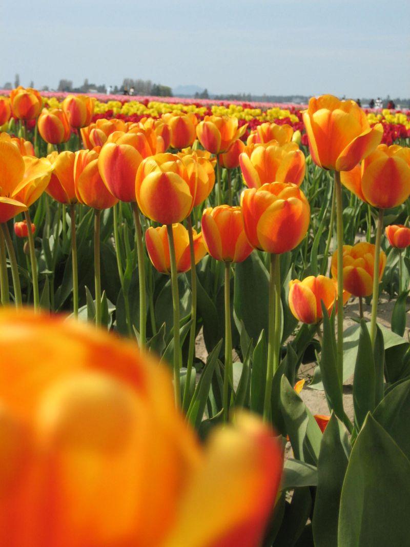 Skagit Valley Tulip Festival, April 26, 2009, Mt. Vernon, WA 055