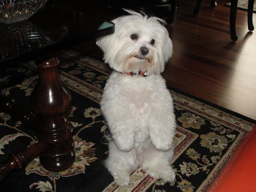 Sadie, our Maltese 005