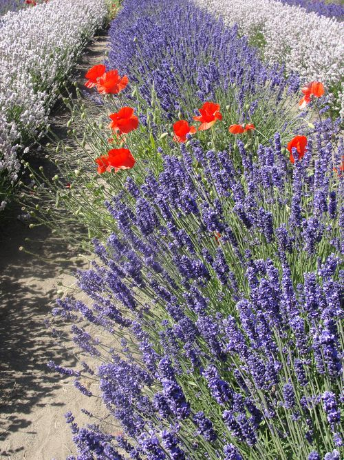 July 2010 House and Lavender Festival 043