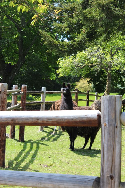 Lamas in Bainbridge Island, WA May 28, 2011 002