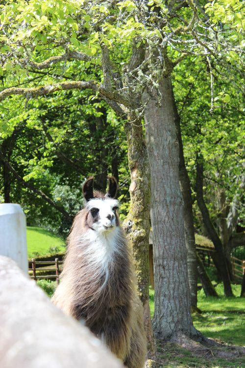 Lamas in Bainbridge Island, WA May 28, 2011 011