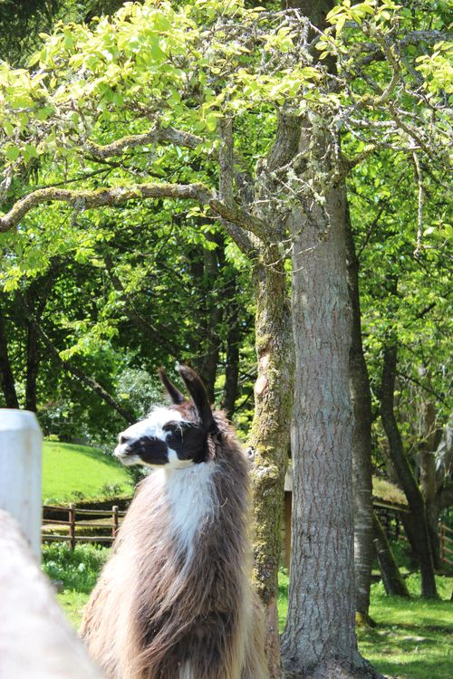 Lamas in Bainbridge Island, WA May 28, 2011 015