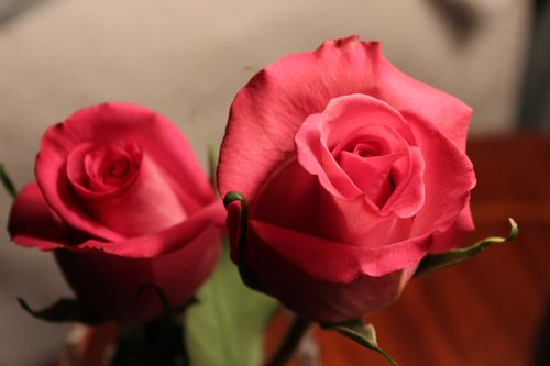 Rose photos 011