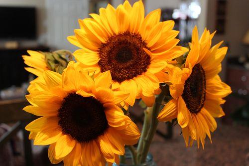 Sunflowers 014