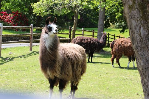 Lamas in Bainbridge Island, WA May 28, 2011 028