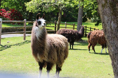 Lamas in Bainbridge Island, WA May 28, 2011 028