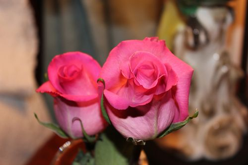 Rose photos 020