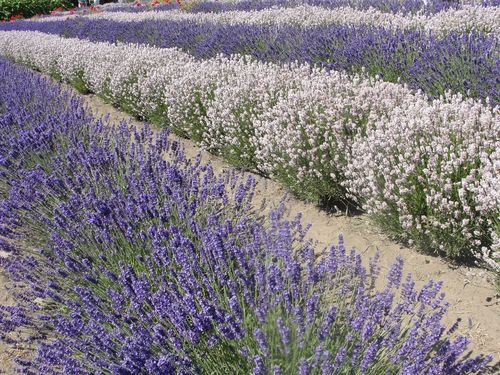 July 2010 House and Lavender Festival 038
