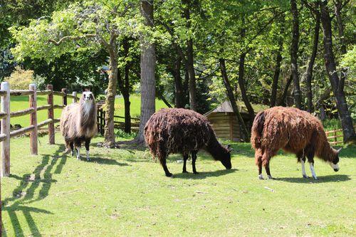 Lamas in Bainbridge Island, WA May 28, 2011 016