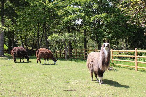 Lamas in Bainbridge Island, WA May 28, 2011 024