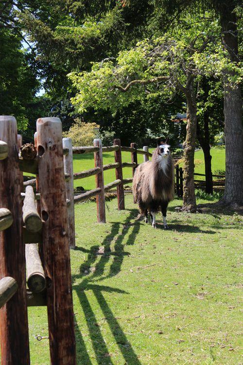 Lamas in Bainbridge Island, WA May 28, 2011 018