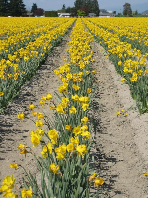 Skagit Valley Tulip Festival, April 26, 2009, Mt. Vernon, WA 015